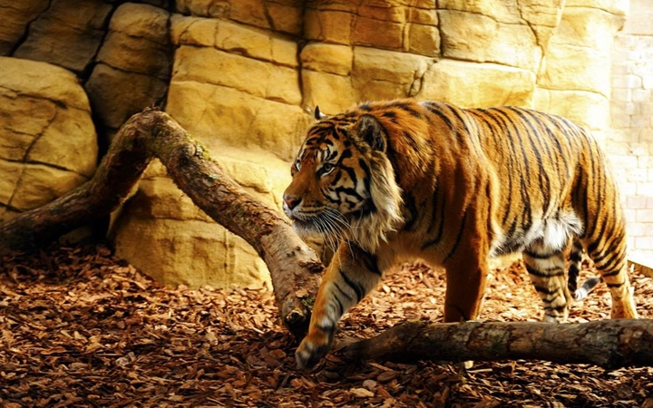 Gaziantep Hayvanat Bahçesi Kaplan